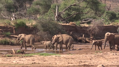 Herd of elephants crossing a riverbed