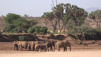 Herd of elephants digging for water in a riverbed