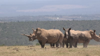 Herd of white rhinos,one has an extremely long horn,stand up from a mud bath