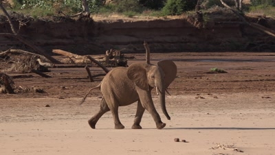 Baby elephant walks in riverbed,chasing birds away