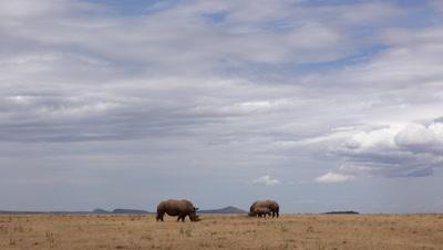 Two white rhinos under big african sky,wide shot