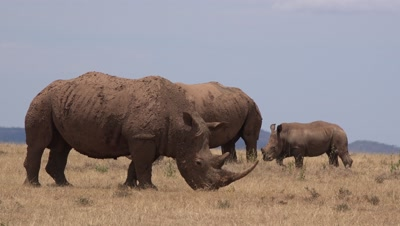 3 White rhino eating gras,mother and baby in the background