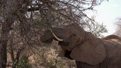 Elephant eating from acacia tree