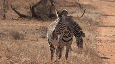 Two grevy´s zebras,looking like a siamese twin