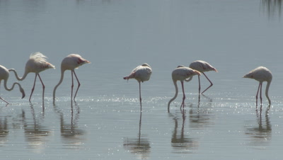 A flock of flamingos in an african lake