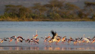 Flock of flamingos,flying up,slow motion 96fps
