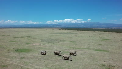 Aerial sideways track with 4 white rhinos walking in savanna