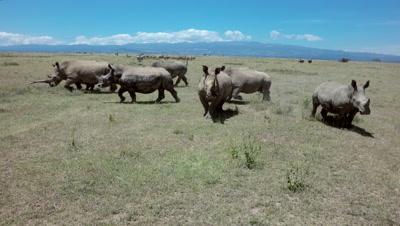 Herd of rhinos walking fast in savanna and approaching camera,aerial