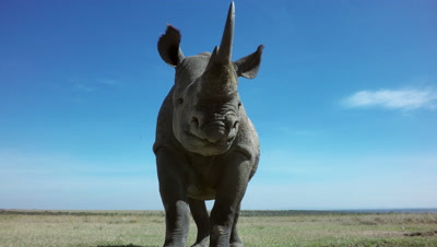 Black rhino coming very close to camera,surprise and taking a leap