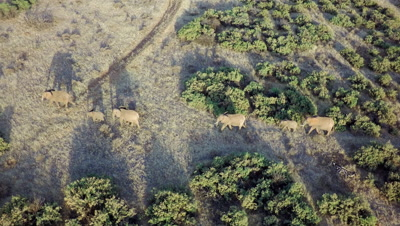 Herd of elephants walking through bushland,long shadows from the morning light,aerial