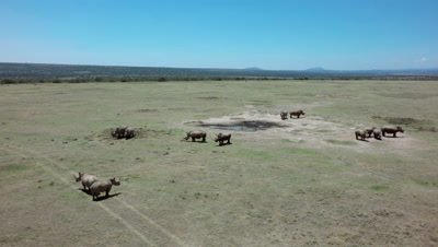 Group of white rhinos around a muddle,aerial