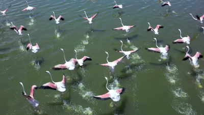 Flock of flamingos starting to fly from a lake,slow motion 100 fps aerial