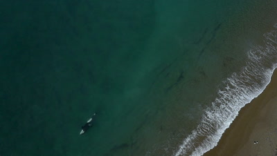 Orca patrols beach,attacks,captures a sealion pup and brings it to the pod,HD Aerial,slow motion 96fps