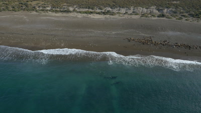 2 Orcas checking out sea lion beach and turn away,wide shot,4K Aerial