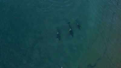 Pod of Orcas approaching sealions in the shallow water,fake attack,then patrolling beach,4K Aerial slomo 96fps