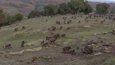 Gelada herd walking over grassland,fights in background,slow motion 60fps