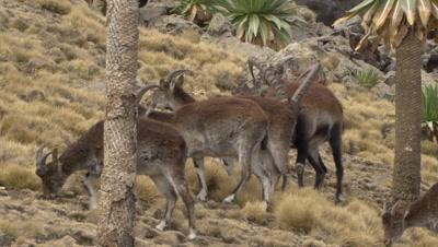 Herd of Walia Ibex passing by