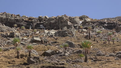 Simien mountains gelada baboons and Walia Ibex in rocky landscape