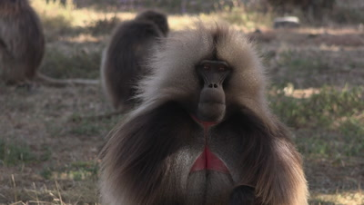 Gelada Baboon male portrait