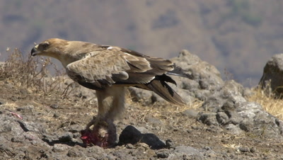 Ethiopian eagle is feeding on sheeps head