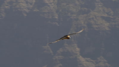 Bearded vulture flying and checking, slow motion