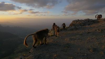 Gelada baboon herd, walk on the edge of the cliff, HD 96fps
