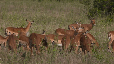 Impala herd stand and watch, UHD
