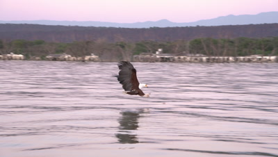 African fish eagle catches fish at dusk, 4K pan