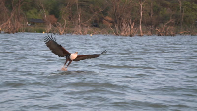 African fish eagle catches fish out of the water, HD slow motion 50fps