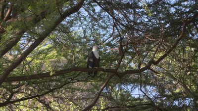 African fish eagle sits on branch, 4k