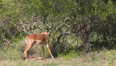 Impala bachelor is trapped with horn in bush and frees himself, UHD 4K