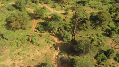 Elephant herd moves through bushland, after river crossing, topshot move morning light, 4k Aerial