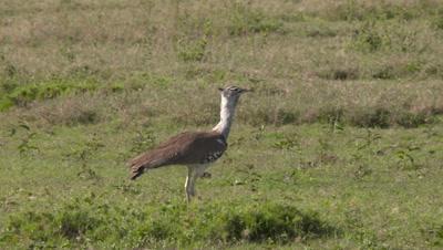 Kori bustard walking on green grassland, UHD 4k