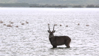 Waterbuck standing in  african lake, UHD 4K