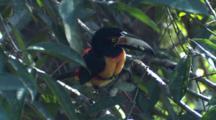 Collared Aracari Toucan Hops Around In Tree