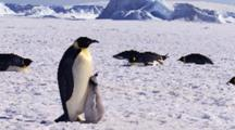 Emperor Penguin, Adult With Chick