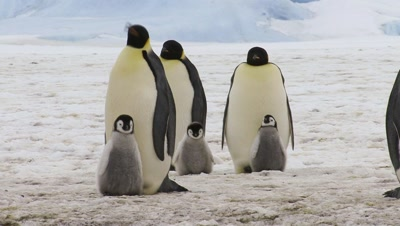 Emperor Penguins, Adults With Chicks