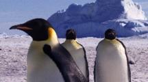 Emperor Penguins With Iceberg