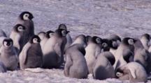 Emperor Penguins, Chicks