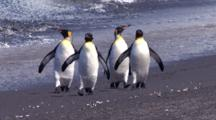 King Penguins Marching, Elephant Seal