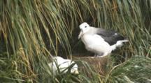 Black-Browed Albatross Adult Feeding Pestering Chick