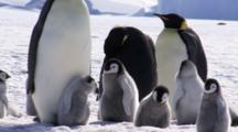 Emperor Penguin Chicks Teasing