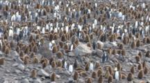 King Penguin Rookery With Skua