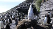 Black-Browed Albatross Chick On Nest, Surrounded By Rockhopper Penguins