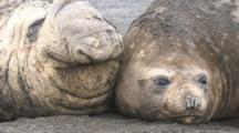 Southern Elephant Seal Pair, Male And Female