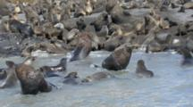 Antarctic Fur Seals, Fighting, Playing