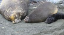 Southern Elephant Seal Family