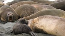 Southern Elephant Seal Colony,Female Bugling