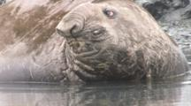 Southern Elephant Seal In Water