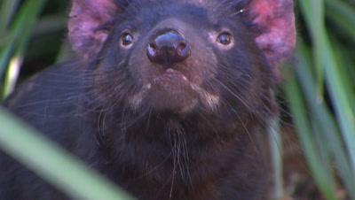 Australian Animals - Tasmanina Devil